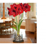 Amaryllis 'Grand Diva,' one bulb, 8