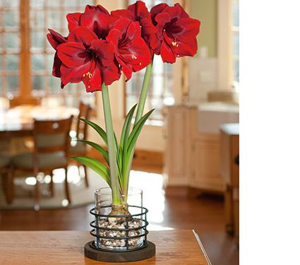 Amaryllis grand diva one bulb in 8 vase white flower farm for Vase amaryllis