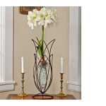 Amaryllis Ice Queen, one bulb, 24
