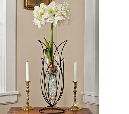 Amaryllis ice queen one bulb 24 tulip stand with glass for Vase amaryllis