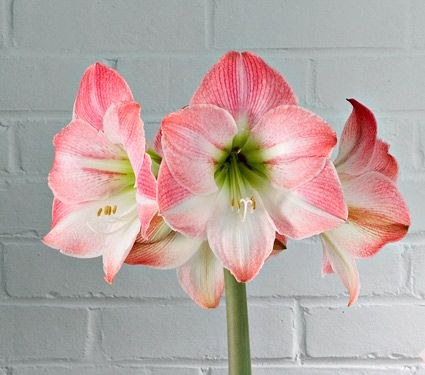 Amaryllis Apple Blossom, one bulb, 8