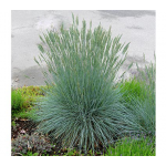 Ornamental Grass: Festuca glauca Beyond Blue™