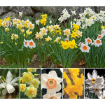 All-Star Daffodil Collection - Standard Shipping Included