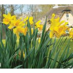 Best-Selling Daffodils