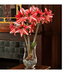 Amaryllis 'Pajama Party,' one bulb, hurricane vase, and clear gem stones