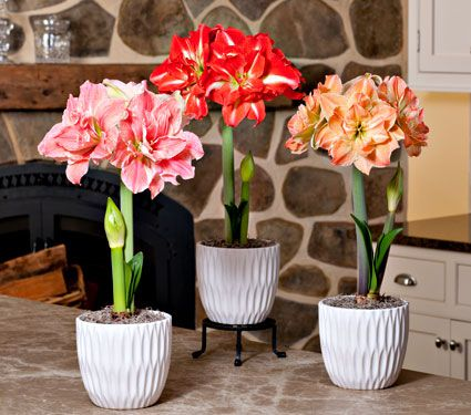 Amaryllis Fancy Nymph Trio