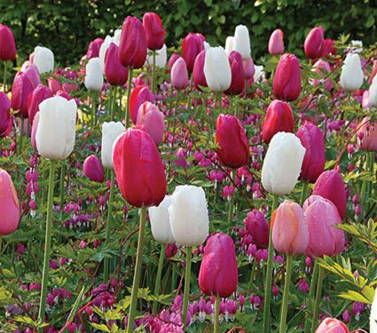Heartstrings Dicentra & Tulip Collection