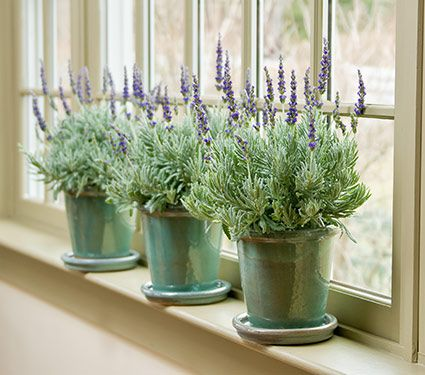 Lavender plant lavender goodwin creek grey in glazed pot white lavender goodwin creek grey in glazed pot mightylinksfo Choice Image