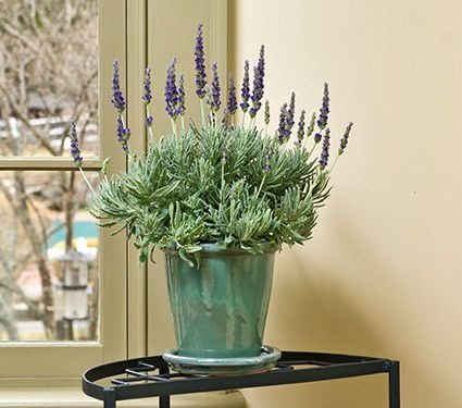 lavender plant lavender goodwin creek grey in glazed pot. Black Bedroom Furniture Sets. Home Design Ideas