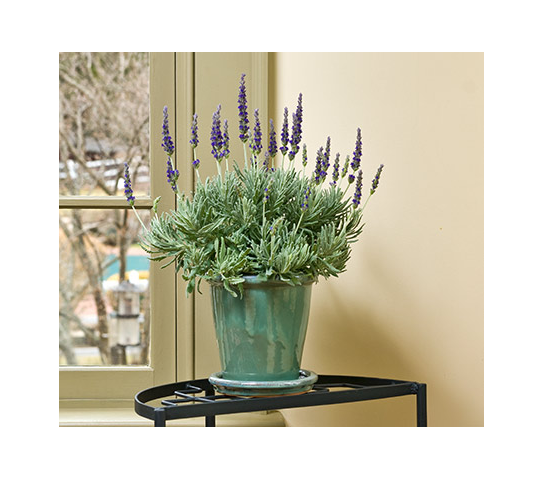 Lavender Goodwin Creek Grey in glazed pot