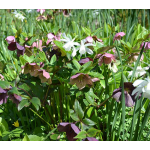 Spring Beauties Hellebore & Daffodil Collection