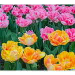 Foxtrot Duo Tulip Collection