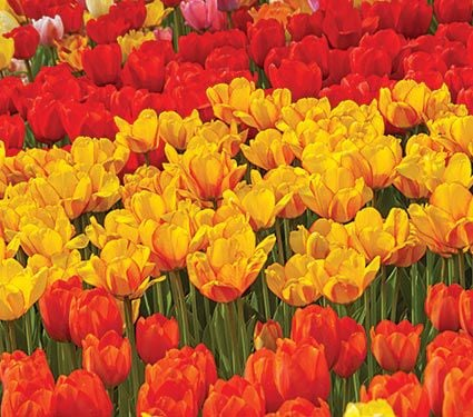 Hot Spring Border Tulip Collection