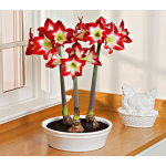 Amaryllis Tres Chic, three bulbs in 11