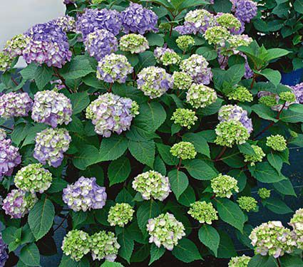 Quick Start 2-Gallon Hydrangeas