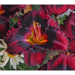 Hemerocallis (Daylily) 'Ebony Pools' - Reblooming