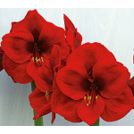 January - Amaryllis