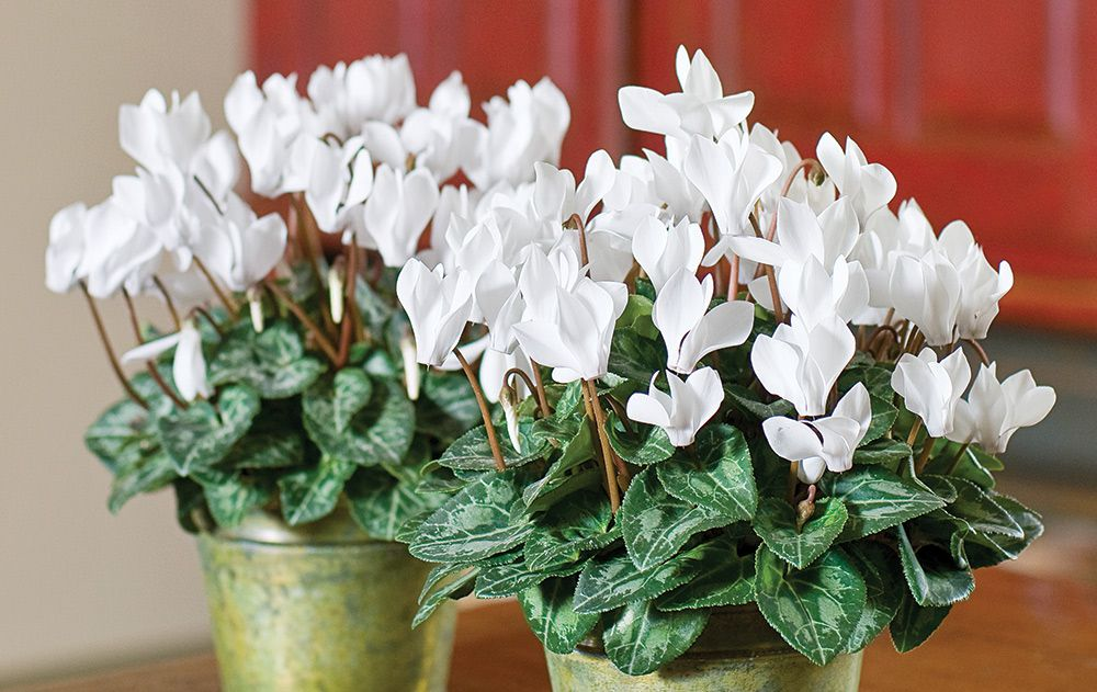 White Cyclamen Duo