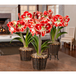 Bicolor Amaryllis - Standard Shipping Included