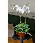 3 White Moth Orchids in 5½″ metal cachepot