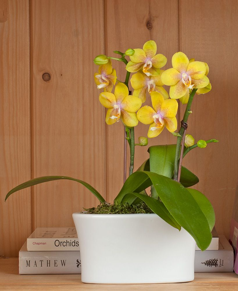 Yellow-and-Pink Mini Moth Orchids