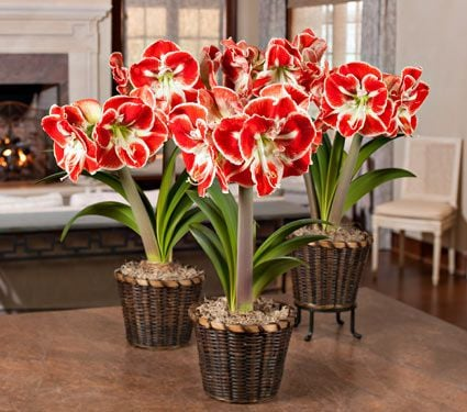 Bicolor Amaryllis in Woven Basket - Standard Shipping Included