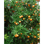Calamondin Orange in clay pot