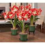 Bicolor Amaryllis in Nursery Pot - Standard Shipping Included