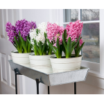 Hyacinth Trio Bulb Collection, in 7