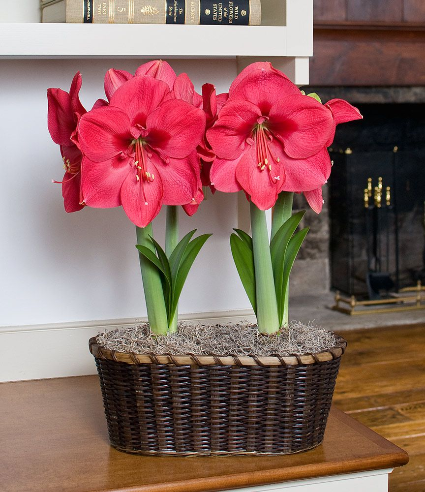 Amaryllis Lagoon, two nursery pots in a 17