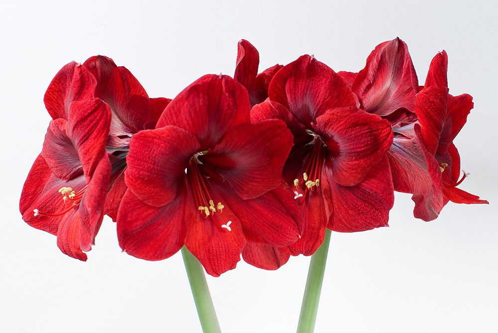 Red Amaryllis Flower