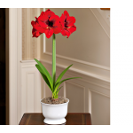Amaryllis Grand Diva, one bulb in a 7