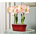 Amaryllis Aphrodite, two bulbs in red metal cachepot