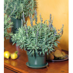 Lavender Goodwin Creek Grey in nursery pot