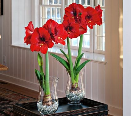 Amaryllis bulbs in glass white flower farm for Vase amaryllis