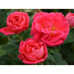 Traditional Home® Classic Woman Rose