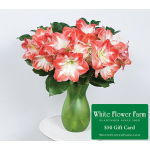Bicolor Amaryllis Bouquet with Vase Plus $50 Gift Card - Standard Shipping Included
