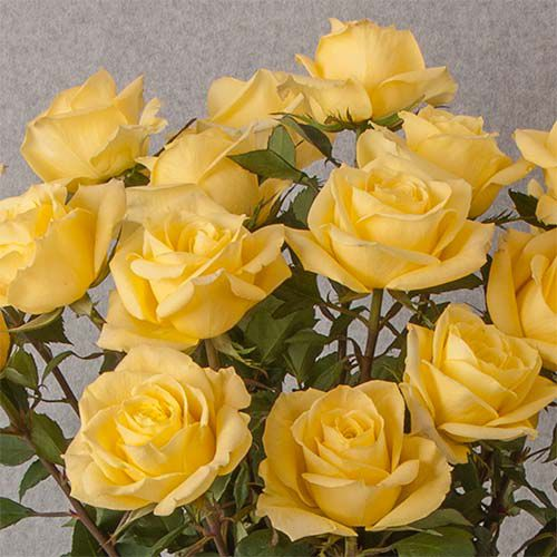 Yellow Rose Bouquet - 12 stems