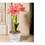 Amaryllis Sweet Nymph, one bulb in white footed cachepot