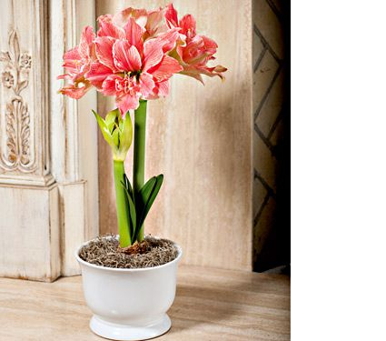 Amaryllis 'Sweet Nymph,' one bulb in white footed cachepot