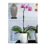 July - Pink Moth Orchid