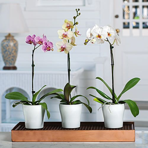 Months of easy care moth orchids growers choice months of easy care moth orchids growers choice mightylinksfo