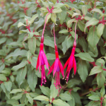 Fuchsia magellanica Grand Cape Horn