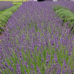 Lavender Phenomenal (Lavandula x intermedia Phenomenal)