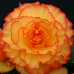 Begonia 'Golden Bali Hi' Blackmore & Langdon