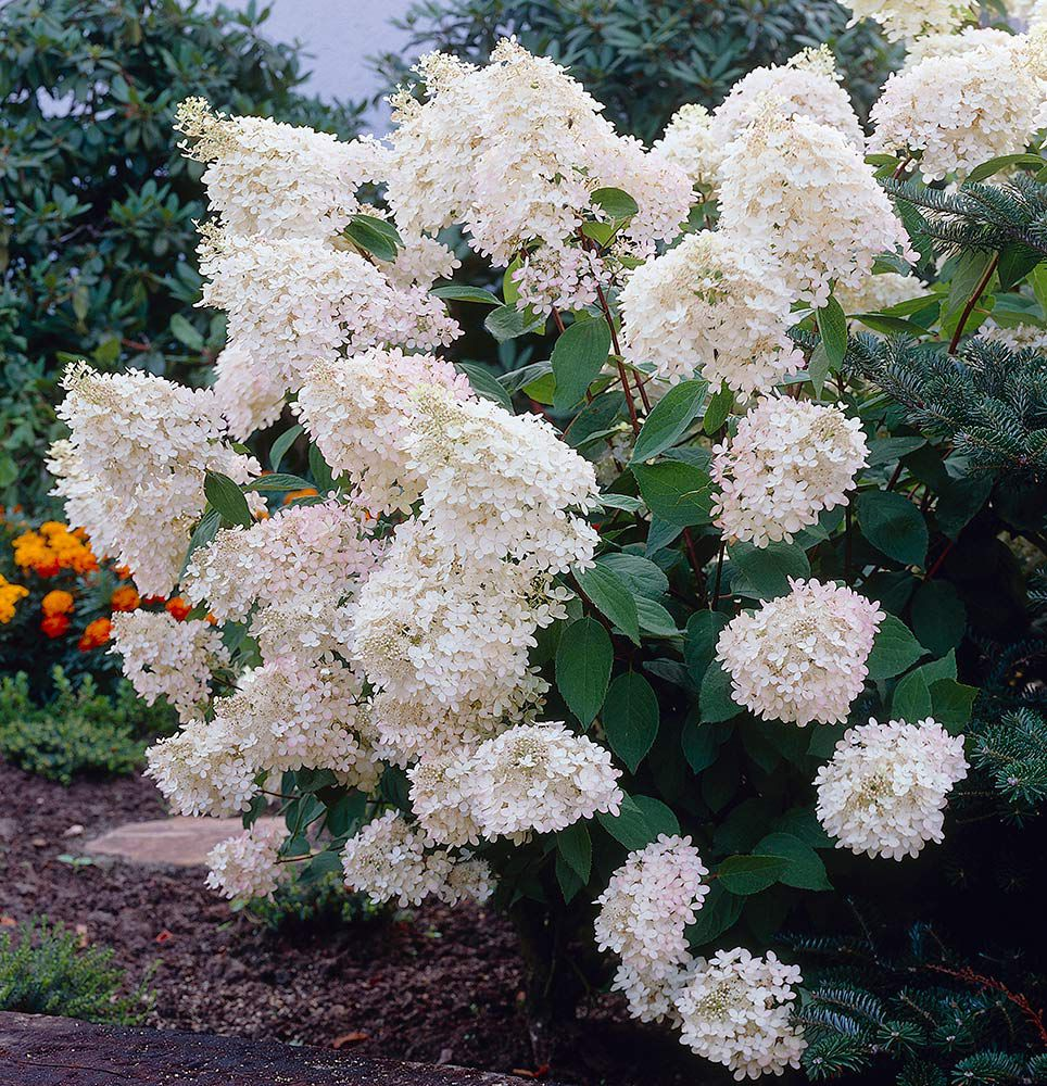 hydrangea paniculata grandiflora white flower farm. Black Bedroom Furniture Sets. Home Design Ideas