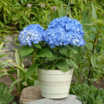Hydrangea Let's Dance® Blue Jangles® in cream metal cachepot