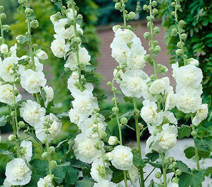 Alcea Chater's Double White