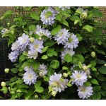 Clematis Diamond Ball