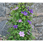 Clematis Twilight Duet